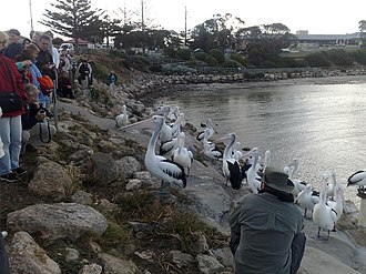 Kingscote, South Australia - Image: Pelican feeding in kinsgote