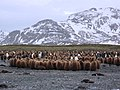 Penguin Chicks Huddling (16088441522).jpg