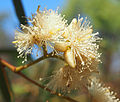 flowers of Eucalyptus exserta