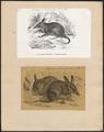 Perameles lagotis - 1700-1880 - Print - Iconographia Zoologica - Special Collections University of Amsterdam - UBA01 IZ20300069.tif
