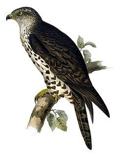 <i>Pernis</i> (bird) genus of birds