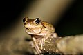Perons Tree Frog (Litoria peroni) (8397007379).jpg