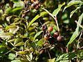 Persicaria chinensis var. ovalifolia (6368770329).jpg