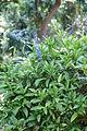 Petrea volubilis bush.JPG