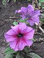 Petunia violet.jpg