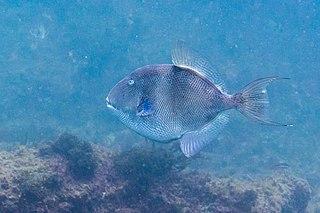 Grey triggerfish Species of fish
