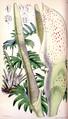 Philodendron pinnatifidum CBM.png