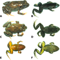 Photographs of live and preserved specimen of the holotype of Psychrophrynella chirihampatu.png