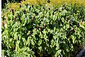 Phytolacca polyandra Prague 2012 1.jpg