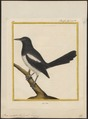 Pica caudata - 1700-1880 - Print - Iconographia Zoologica - Special Collections University of Amsterdam - UBA01 IZ15700181.tif