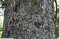 Picea abies 6zz.jpg