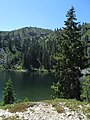 Picea breweriana - Flickr - theforestprimeval (6).jpg