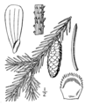 Picea glauca drawing.png