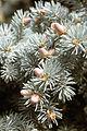 Picea pungens USDA5.jpg
