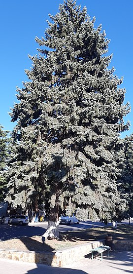 Picea pungens in Gori, Georgia (Country).jpg
