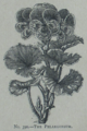 Picture Natural History - No 390 - The Pelargonium.png