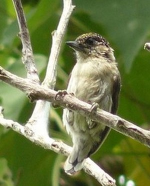 Cauca Valley dry forests - Endemic grayish piculet