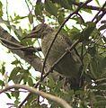Picus viridis sharpei 098.jpg