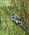 Pied Kingfisher (Ceryle rudis) female with small fish in its bill ... (33445380322).jpg