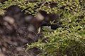 Pied crested cuckoo (Clamator jacobinus)from Rollapadu Andhra Pradesh JEG7258.jpg
