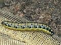 Pieris brassicae (larva) - Large white (caterpillar) - Капустница (гусеница) (41133437322).jpg