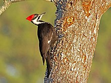 Pileated Woodpecker Ash RWD2.jpg