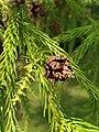 Pinales - Cryptomeria japonica - 6.jpg