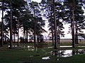 Pines near Beaulieu Road car park, New Forest - geograph.org.uk - 294740.jpg