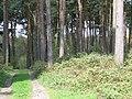 Pines near Hillmotts Farm - geograph.org.uk - 162716.jpg
