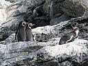 Pinguinos-Humboldt Isla Choros Chile.JPG