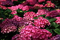 Pink-hydrangea - West Virginia - ForestWander.jpg