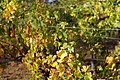 Pinot Noir Vines in mid Oct.jpg