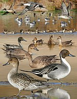 Pintail From The Crossley ID Guide Eastern Birds.jpg