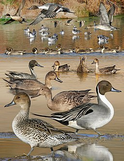 Pintail From The Crossley ID Guide Eastern Birds