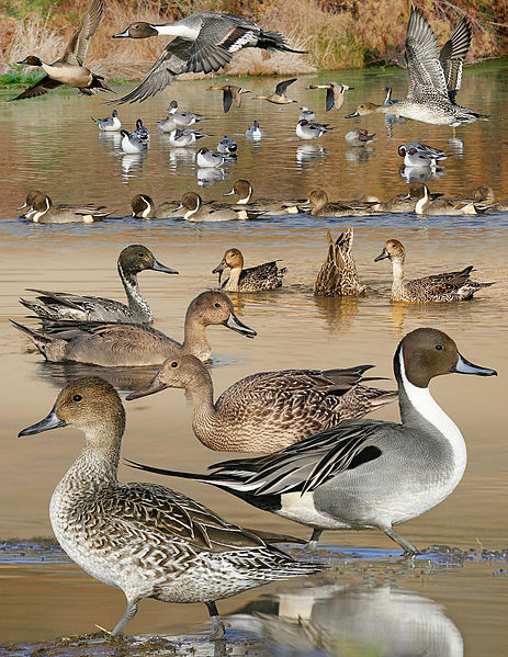 Súbor:Pintail From The Crossley ID Guide Eastern Birds.jpg