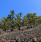 Pinus canariensis - Pico Birigoyo - La Palma 03.jpg