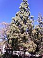 Pinus canariensis in kibbutz Mizra.jpg