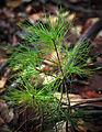 Pinus strobus seedling Appalachian Park.jpg