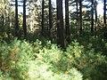 Pinus strobus understory.JPG