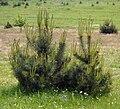 Pinus sylvestris 29.05.2010 p.jpg