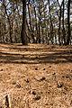 Pinus thunbergii 02.jpg