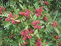 Pistacia lentiscus c