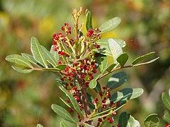 Pistacia lentiscus flower.jpg