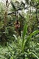 Pitcairnia bakeri (Bromeliaceae) (31066100607).jpg