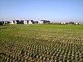 Plantação de arroz - panoramio.jpg