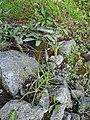 Plantago maritima plant (22).jpg