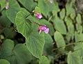 Plante fleur rose Dordogne.jpg