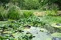 Plantes aquatiques-Jardins de Callunes (6).jpg