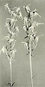 Platanthera orbiculata WFNY-f008.jpg