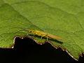 Plecoptera- Chloroperla (7568089580).jpg